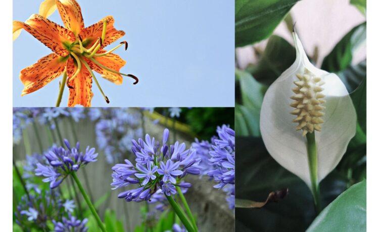 Garden Lilies Types For Summer