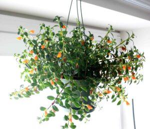 Best Houseplants for Hanging Baskets