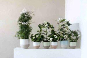 Jasmine For Best Bedroom Plants for Oxygen
