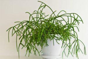 Mistletoe Cactus Low light succulents for indoors