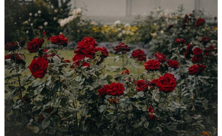 Rose Garden Design Ideas Must be Tried 1