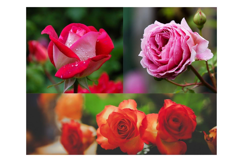 Rose Garden Design Ideas Must be Tried 2